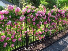 A 'Peggy Martin' rose blankets a garden fence in pink blooms. David Morello…
