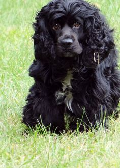 From another pinner who has a cocker named Sophie.  I lost my sweet Sophie in April, 2013.