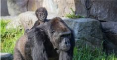 """New baby gorilla immediately takes to her grandmother [8 pics & video]  Five months ago at the San Francisco zoo, Nneka the gorilla had a baby, Kabibe — """"little lady"""" in Swahili. The new mother is doing fine, but it's grandma Bawang, the gorilla family's 33-year-old matriarch, who seems to have filled the role of mother to the new addition.  Yesterday, Kabibe was available to be seen by the public for the first time. As could be easily predicted, she and her grandma are adorable together…"""