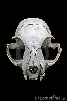 Cat Skull Stock Photos, Cat Skull Royalty Free Images, Pictures And Cat Skull Stock Photography - Dreamstime
