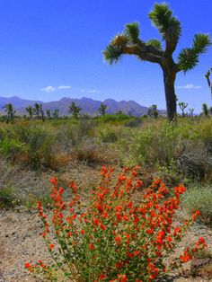 Joshua Tree National Park, Calif.  The desert - NOT one of my favorite spaces and places but where I grew up.