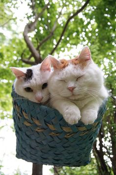A basket full of Mimi and Shironeko