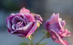 Den vakreste frostrosen Frost, Planters, Garden, Flowers, Garten, Lawn And Garden, Gardens, Plant, Window Boxes