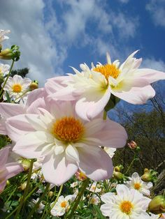 ~~White Dahlias by ***irene***~~