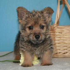 Norwich Terrier...awwwww it's so cute!! I want one...