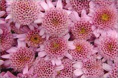 http://www.featurepics.com/FI/Thumb300/20070503/Chrysanthemum-Pink-304478.jpg