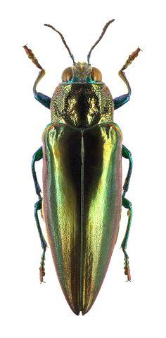Chrysochroa unidentata