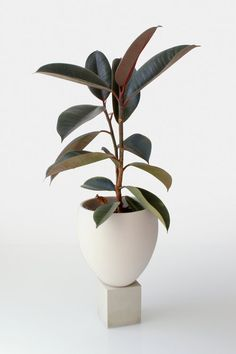 Idea Of Making Plant Pots At Home // Flower Pots From Cement Marbles // Home Decoration Ideas – Top Soop Concrete Planters, Ceramic Planters, Planter Pots, Fall Planters, Rubber Plant, Rubber Tree, Ficus, Garden Plants, Indoor Plants