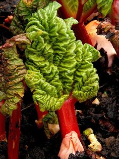 How to Make Rhubarb Garden Spray - Rhubarb garden spray is an effective spray for controlling aphids and other sucking insects, as it suffocates them