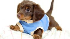 All about your favorite dachshund puppies. You can also look our excellent repository of dachshund puppies for sale. Dachshund Funny, Dachshund Puppies, Dachshund Love, Cute Puppies, Cute Dogs, Dogs And Puppies, Daschund, Beagle Puppy, Dachshund Facts