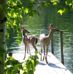 Welcome to the Lake House Lakeside Cabin, Lakeside Living, Lakeside View, Beautiful Creatures, Animals Beautiful, Cute Animals, Summer Scenes, Deer Family, Lake Life