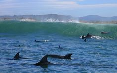 Dolphins - Knysna Knysna, Dolphins, South Africa, Whale, Scenery, Places To Visit, African, Pictures, Animals