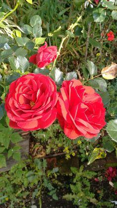 Rosas maravillosas de Silvia Cauca Colombia