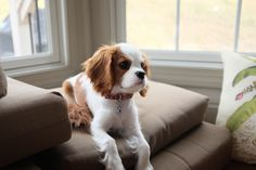 Cavalier King Charles Spaniel – Graceful and Affectionate King Charles Puppy, Cavalier King Charles Dog, King Charles Spaniel, Cute Baby Dogs, Cute Dogs And Puppies, Doggies, Cavalier King Spaniel, Baby Animals, Cute Animals