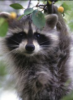 Explores the differences between typical, blonde, red, and albino raccoons. Also has interesting tidbits about all all raccoons in general.