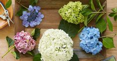How to Prune Hydrangeas for the Best Summer Blooms Pruning Plants, Pruning Hydrangeas, Types Of Hydrangeas, Hydrangea Varieties, Garden Plants, Planting Flowers, Smooth Hydrangea, Hydrangea Care, Hydrangea Flower