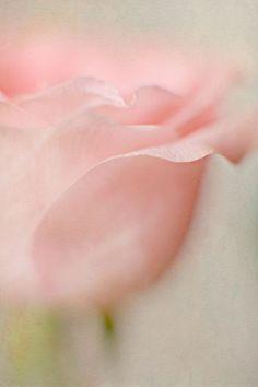 Softness of a rose...