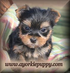 How to potty train your Yorkshire Terrier puppy or Yorkie dog quickly