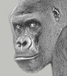 Copied this gorilla for my sketch