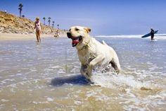 labrador en la playa, jugando en el agua