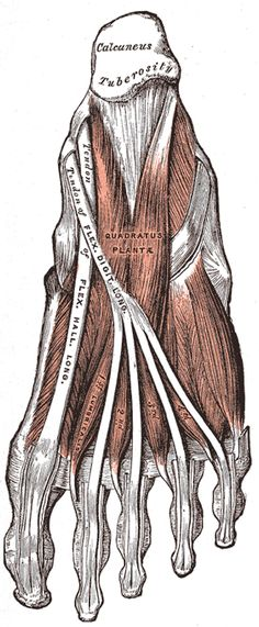 The Muscles and Fasciæ of the Foot - Human Anatomy