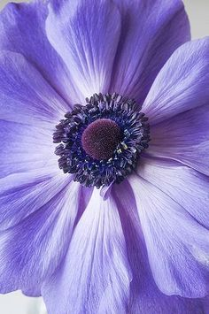 ♔ Purple Anemone