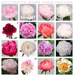 Peonies Getting to know your Peonies: Tain Fontijn Showe Types Of Flowers, Cut Flowers, Pink Flowers, Beautiful Flowers, Buy Peonies, Peonies Garden, Pink Peonies, Flower Farm, Peony Flower