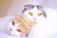 Snapshot information about the Scottish Fold cat breed: its standards, profile, history, and personality traits.