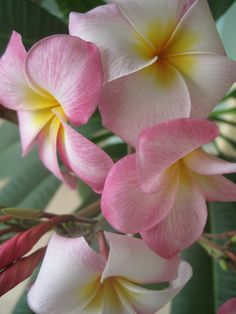 Pink and yellow plumeria closeup.