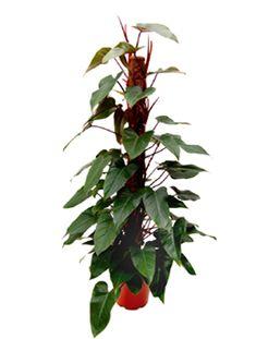 baumfreund philodendron 39 xanadu 39 plants supplies pinterest pflanzen baumfreund und. Black Bedroom Furniture Sets. Home Design Ideas