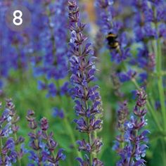 Salvia nemorosa, woodland sage, is a favourite of bees in summer