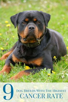 While cancer can unfortunately strike any breed of dog at any age, there are certain breeds that have higher instances of the disease...
