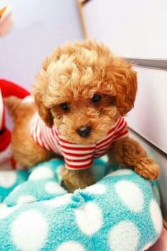 Red teacup poodle @KaufmannsPuppy