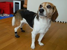 Hana has had trouble walking due to a disc injury but according to her mom is now more comfortable walking on hardwood flooring in their living room, and on the tile in their kitchen thanks to her Grippers. http://www.dogquality.com/grippers.html Etsuko Morii & Hana the beagle Vancouver, BC #beagle