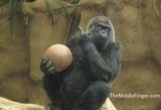 Gorilla Flips the bird!