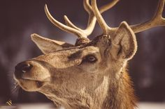 Rezervatia de Zimbri, Vama Buzaului, Pastel Chalet. Photo: Cosmin Lautar Pastel, Moose Art, Romantic, Animals, Cake, Animales, Animaux, Animal, Romance Movies