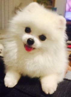 Precisely, how can you not love this face? Teacup Puppies, Cute Puppies, Cute Dogs, Dogs And Puppies, Doggies, Animals And Pets, Baby Animals, Cute Animals, Beautiful Dogs