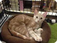Barrington Hills, IL - Domestic Shorthair. Meet Butterscotch a Kitten for Adoption.