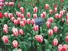 #tulips #tulip #tulipseason #keukenhof #netherlands #spring #springineurope #flowers #bloom #prettytulips #pretty #instalike #instaflower #instaview #traveling #travels #travelgram #colorful by flor3ncias