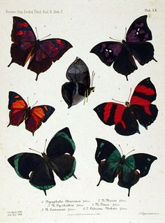 NovaraExpZoologischeTheilLepidopteraAtlasTaf60.jpg