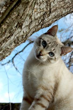 lynx point blue eyed kitty