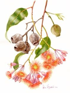 Corymbia ficifolia or red flowering gum - botanical illustration by Helen Fitzgerald Australian Wildflowers, Australian Native Flowers, Australian Plants, Australian Artists, Plant Illustration, Botanical Illustration, Botanical Flowers, Botanical Prints, Watercolor Artists