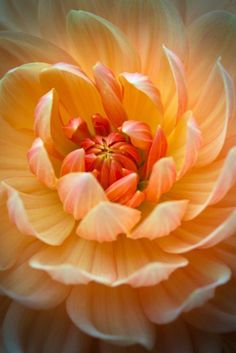 tinnacriss: Dahlia by Roswitha Schacht (It'sOnlyNatural by kathy) Macro Flower, Dahlia Flower, My Flower, Flower Art, Exotic Flowers, Orange Flowers, Amazing Flowers, Beautiful Flowers, Beautiful Pictures