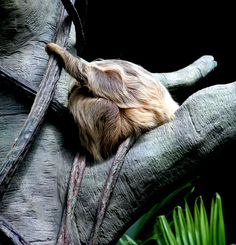 Tree Sloth at the Como Zoo Como Zoo, Sloth, Lion Sculpture, Statue, Flowers, Art, Art Background, Sloth Animal, Kunst