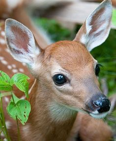 Deer Photos, Deer Pictures, Animal Pictures, Cute Baby Animals, Animals And Pets, Funny Animals, Anime Animals, Beautiful Creatures, Animals Beautiful