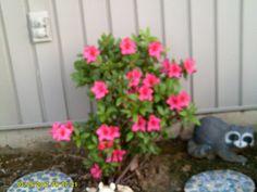 Beautiful Autumn Encore Azalea's in my garden.