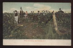 WESTFIELD NY NEW YORK. It shows a view of grape harvesting. You can see many workers picking grapes and a horse drawn wagon. Circa 1906. This postcard has the undivided back which means that is was printed prior to 1907.