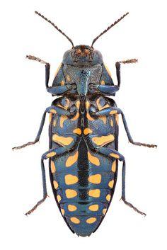 Buprestis octoguttata Linnaeus, 1758 ♀ | Flickr - Photo Sharing!
