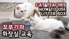 고양이 꼬부기의 쵸비 화장실 교육 CAT TEACHES HOW TO USE LITTER BOX TO KITTEN
