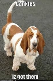 Basset Hounds are awesome! Check out this list of Basset Hound dog memes that are sure to put a smile on your face. Animals And Pets, Funny Animals, Cute Animals, Funny Dog Memes, Funny Dogs, Funny Stuff, Hilarious, I Love Dogs, Bloodhound Dogs